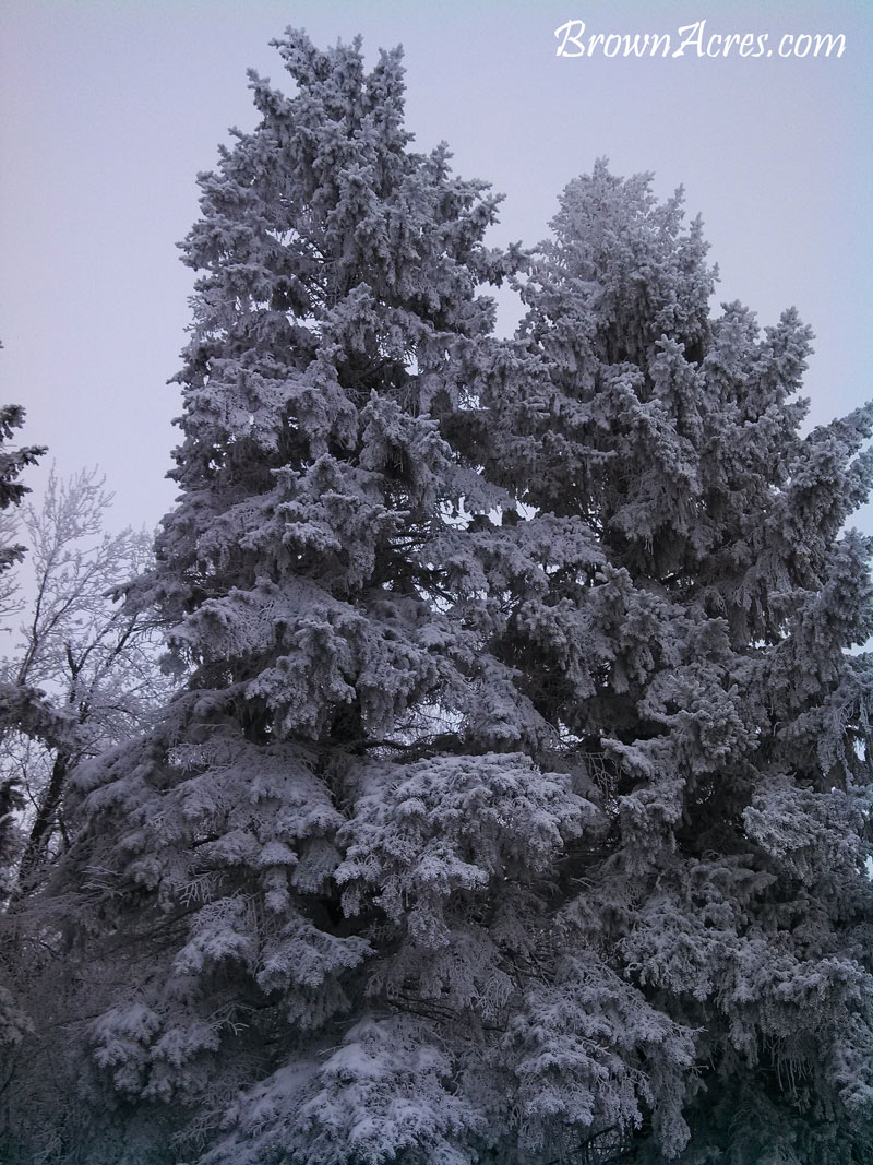 Snow-Covered-Pines