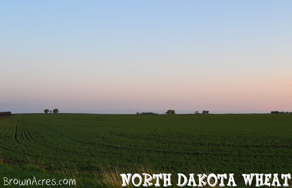 Brown-Acres-ND-Wheat
