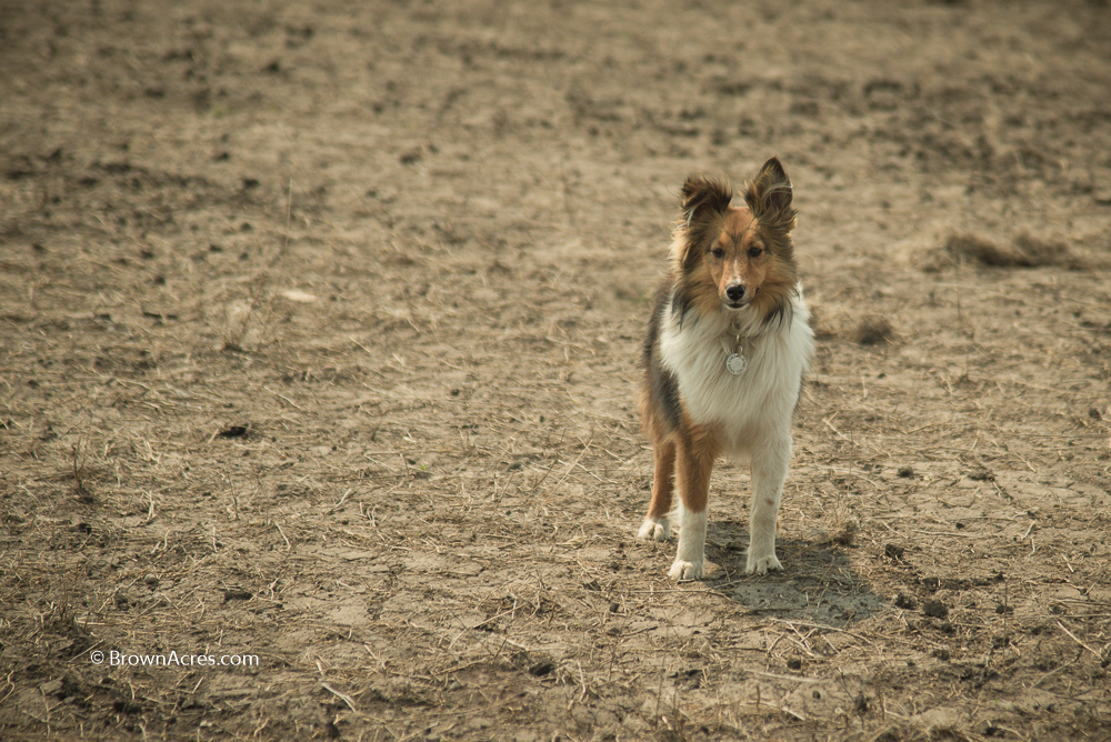 Sable Sheltie Farm Dog Bella Brown Acres Custom Harvesting