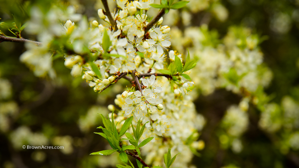 Plum Blossoms Brown Acres Custom Harvesting