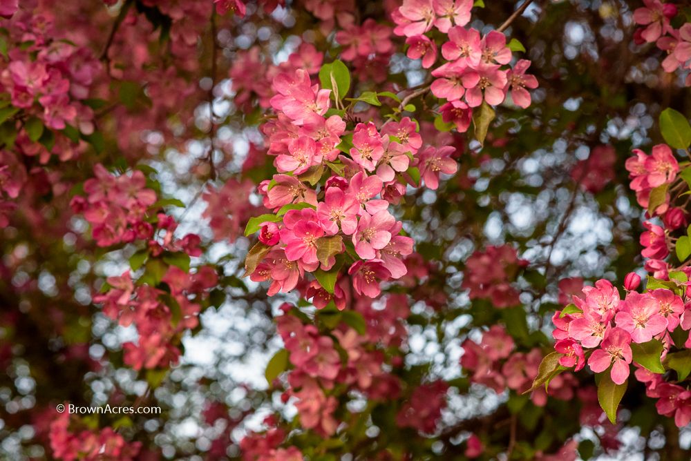 Flowering Crab Apple blossoms